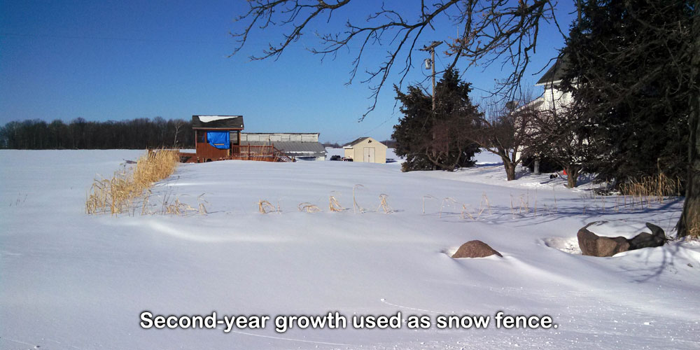 Second-year growth used as snow fence.